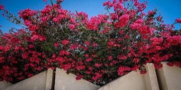 کشت بیش از 5/5 میلیون انواع گلهای زیبای فصلی در کیش