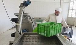 تولید سالانه ۶ تن روغن زیتون توسط کارآفرین بسیجی ایلامی