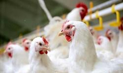 برخورد با مرغداران متخلف در همدان