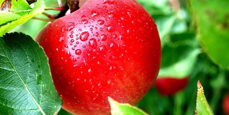 افزایش 25 درصدی تولید سیب در  آذربایجانشرقی/ ایجاد ارتباط با کشورهای اوراسیا و عقد توافقنامه تجارت آزاد سیب