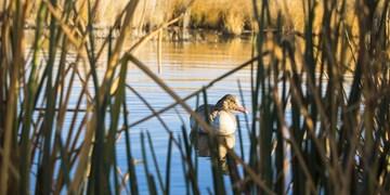 جمعآوری ۱۲۳۵ لاشه پرنده در تالاب میقان/ آنفلوانزای پرندگان در تالاب مهار شد