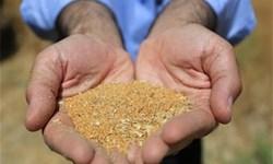 ورود بخش خصوصی به خرید دانههای روغنی کلزا، تهدید یا فرصت؟!