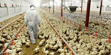 آماده باش تیمهای دامپزشکی برای کنترل شیوع احتمالی آنفلوانزای حاد پرندگان