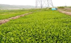 مددجویی که اشتغال پایدار ایجاد کرد/ تولید روزانه 350 کیلوگرم سبزی در«آسمانآباد»