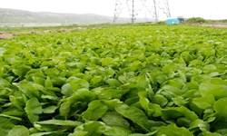 برداشت سالانه 10 هزار تن انواع سبزی در خاش