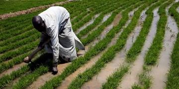 «بوکو حرام» حداقل ۴۴ کشاورز را در مزارع برنج نیجریه کشت