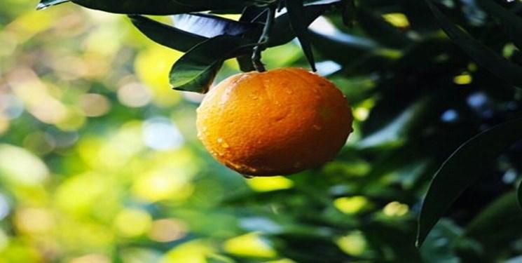 آغاز برداشت پرتقال از باغات رودان