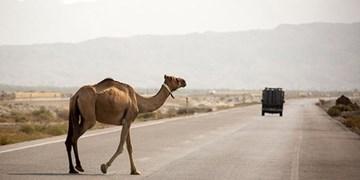 تصادف اتوبوس بندرعباس به جاسک  با شتر