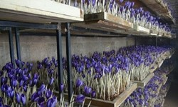 ایجاد اشتغال و افزایش درآمد با توسعه کشت گلخانهای زعفران در گلستان/ کیفیت بالای زعفران در روش کشت گلخانه ای