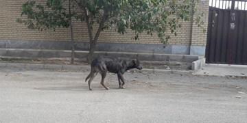 بحران سگهای بلاصاحب در شهرقدس/ ممانعت عدهای حامینما در حفظ امنیت شهروندان