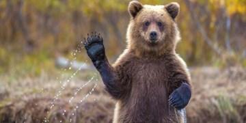 فیلم| مشاهده خرس قهوه ای در ارتفاعات ارومیه