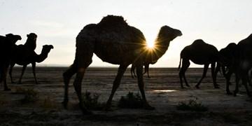پرورش «شتر» در چهل دختران اسفراین