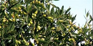 توسعه باغهای زیتون در استان سمنان