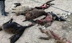 22 راس گوسفند در«بدره» توسط گرگها دریده شدند