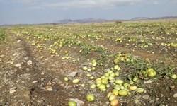 سرمازدگی بیش از ۶٠٠ میلیارد ریال به بخش کشاورزی سیستان وبلوچستان خسارت زد
