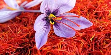 صادرات 118 میلیون دلاری زعفران/ پنج کشور مشتری 84 درصد زعفران ایران