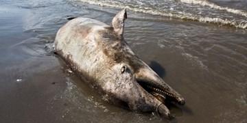کشف لاشه «دلفین چرخنده» در سواحل کیش/ محیط زیست: احتمال مرگ بهواسطه صید ترال یا برخورد با کشتی صفر است