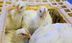 توقیف کامیون حامل مرغ زنده قاچاق در کامیاران