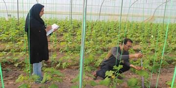 تولید نشای انواع صیفیجات در گلخانههای سنتی فنوج