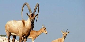 با شکارچیان صید و زندهگیری گونههای با ارزش حیات وحش آذربایجانغربی برخورد میشود