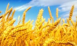 خرید امسال گندم کمتر از 8 میلیون تن نخواهد بود