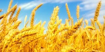 سن زدگی مزارع گندم آذربایجانغربی به 800 هکتار کاهش یافت