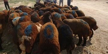 قاچاق دامهاییکه علوفه ۴۲۰۰ تومانی میخورند به عمان و عراق!