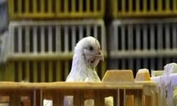 چرا مرغ های اردبیل ممنوع الخروج شدند!