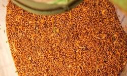 تحویل  3800 تن گندم به  کشاورزان مراکز خرید