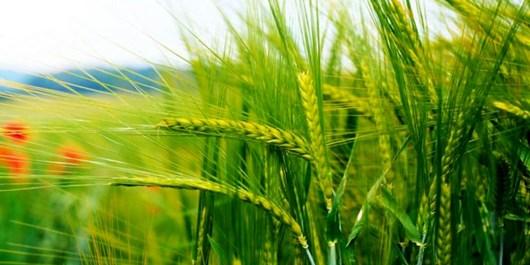 کوچک بودن زمینهای زراعی، بزرگترین تهدید کشاورزی /  ضرورت توسعه کشاورزی قراردادی