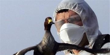 آنفلوانزای فوق حاد پرندگان در استان قزوین مشاهده نشده است