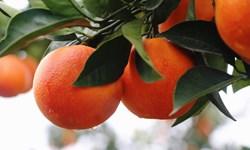 پرتقال مازندران برای تنظیم بازار راهی ۲۴ استان کشور شد