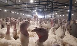 فیلم| فعالیت 44 مزرعه بوقلمون در غرب کشور