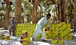 کوچک اما پرثمر/ «خرما» محصولی که معیشت 40 هزار نفر را تامین میکند