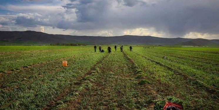 خرد شدن اراضی کشاورزی تهدید برای امنیت غذایی
