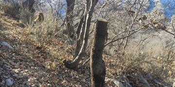 فاجعه تاراج جنگل از «سیدنده» تا «درهگجی» لوداب/آیا جنگل آرام است؟!+تصاویر