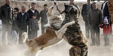 هشدار درباره پدیده شوم  «جنگ سگها» در روستاهای شهرستان سراب
