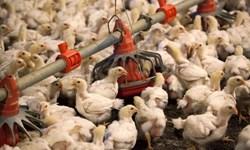 خسارت آنفلوآنزای فوقحاد پرندگان در خراسانجنوبی/ یک میلیون قطعه مرغ معدوم شد