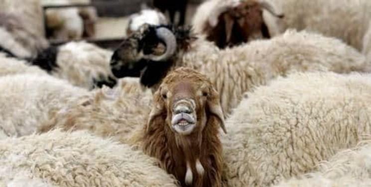 کشف 231 راس گوسفند سرقتی در تبریز و عجبشیر