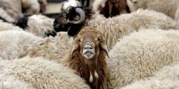 اجرای برنامههای اصلاح نژاد گوسفندان بومی در سمنان
