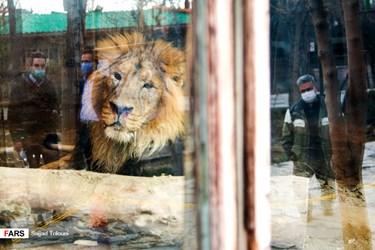 «هیرمان» تنها شیر نر ایرانی