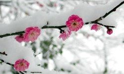 شوکهای اقلیمی، درختان را بیدار کرد/ حال و هوای بهاری درختان در چله زمستان+ عکس