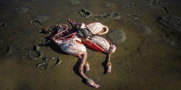 آخرین جزئیات تلفات پرندگان در میانکاله و خلیج گرگان