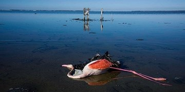 مرگ 18 هزار پرنده  در یک ماه/تراژدی مرگ در میانکاله ادامه دارد