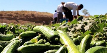 سیر تا پیاز افزایش قیمت خیار/ چرا محصولات کشاورزی در ماههای اخیر گران شدند؟