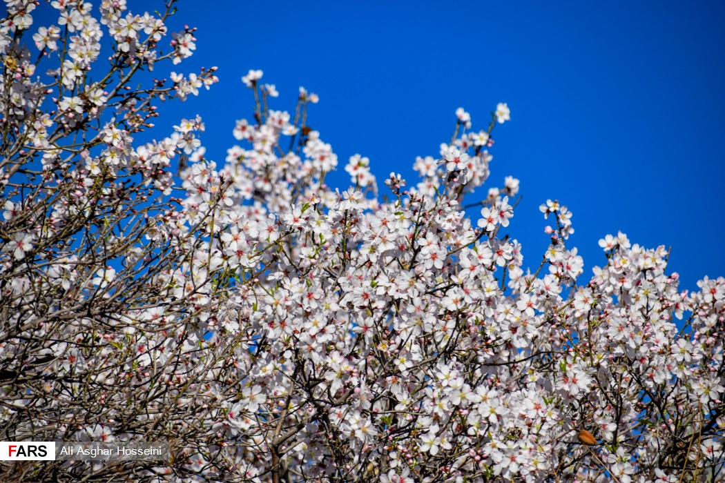 شکوفههای زودرس بهاری در خاوران