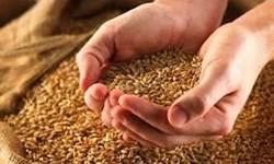 افزایش تولید بذرهای گواهیشده برنج در گیلان/ هاشمی بوجاری کیلویی ۱۷ هزار و ۷۰۰ تومان