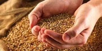 فیلم| حرکت جهادی برای تولید بذر در 45 روز