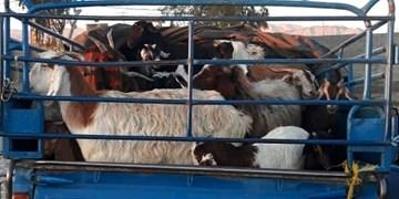 کشف67 راس گوسفند قاچاق در یزد