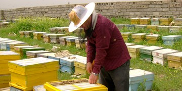 ملکه زنبور خارجی قاچاقی به ایران وارد میشود